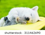 Stock photo white swiss shepherd s puppy and small kitten sleeping together 311462690