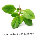 thyme fresh herb isolated on... | Shutterstock . vector #311472620