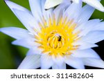 Closeup Lotus Flower With Bee...