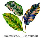 3 isolated tropical leaves.... | Shutterstock . vector #311490530