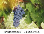 grapes on a vine. close up of... | Shutterstock . vector #311566916