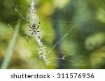 Black And Yellow Garden Spider...
