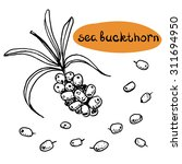 sea buckthorn  set of isolated... | Shutterstock .eps vector #311694950