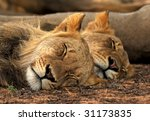 lion tandem | Shutterstock . vector #31173835