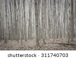 Silver Stand Of Barren Trees I...