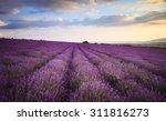 lavender field under blue sky... | Shutterstock . vector #311816273