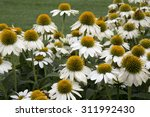 White And Yellow Flowers Of...