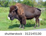 Bison Are Large  Even Toed...