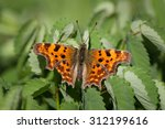 Comma Butterfly Resting On A...