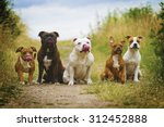 Stock photo beautiful stafordshirre terrier dog with puppy in summer field group of dogs 312452888