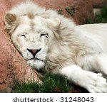lazy white lion - stock photo