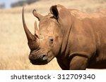 White Rhinoceros  Diceros Simu...