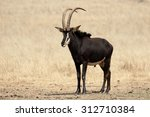 Sable  Hippotragus Niger ...