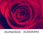 red rose close up. vintage... | Shutterstock . vector #313034393