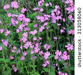 Red Campion   Silene Dioica  ...