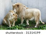 male and female white lions - stock photo
