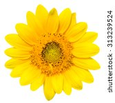 the dwarf sunflower isolated on ... | Shutterstock . vector #313239524