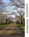cherry blossoms bloom path of... | Shutterstock . vector #313240970
