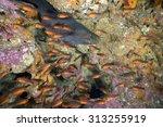 moray eel swimming in coral... | Shutterstock . vector #313255919
