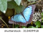 Common Blue Morpho Butterfly ...