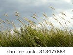 Feather Grass Against The Sky