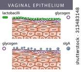 medical illustration of vaginal ...