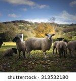 Sheep At Morning Feeding Time...