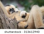 White Gibbon Mother Is Raising...