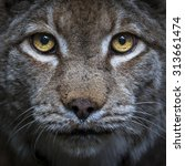 Head Shot Of A Lynx Looking...