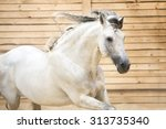 portrait of white horse runs... | Shutterstock . vector #313735340