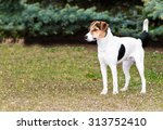 Smooth Fox Terrier Stands.  Th...
