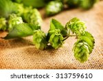 hop plant close up. hop over... | Shutterstock . vector #313759610
