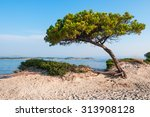 Lonely Pine Tree On A Sandy...