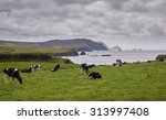 Grazing Cows At The Scenic...