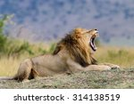 Stock photo close lion in national park of kenya africa 314138519