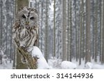 Stock photo tawny owl in snowfall during winter snowy forest in background nature habitat in the wood 314144936