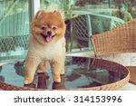 cute pets  a little pomeranian... | Shutterstock . vector #314153996