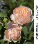 Beautiful Rosa Heritage In The...