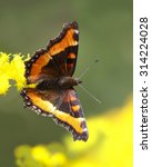 Small photo of Milbert's Tortoiseshell (Aglais milberti) Obtaining Nectar from a Goldenrod - Grand Bend, Ontario, Canada
