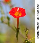 Small photo of Small Red Morning Glory (Ipomoea coccinea) blooming in a field