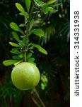 Small photo of Calabash, Calabash Tree, Wild Calabash on tree