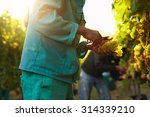 workers working in vineyard... | Shutterstock . vector #314339210