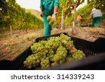 Farm Worker Filling Basket Of...