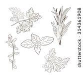 vector fresh parsley  thyme