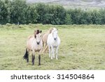 Icelandic Horses On A Green...
