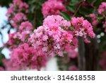 Beautiful Pink Crepe Myrtle...