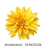 Zinnia Flower On Isolated White