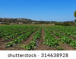 Rows Of Squash Plants In A...
