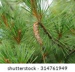 Eastern White Pine  Pinus...