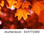 Maple Leaf Red Autumn Sunset...